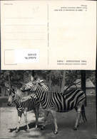 631426,Paris Parc Zoologique Zebre De Chapmann Et Son Petit Zebra Tiere - Tierwelt & Fauna
