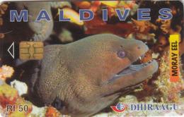 MALDIVES - Moray Eel, CN : 256MLDGIA, Used - Maldive
