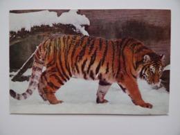 TIGRE Dans La Neige Edité Par Le Comité National De L'Enfance Atlas-Photo Postée De ALBERT Somme - Tigres
