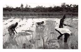 Guinea Bissau - Women Planting Rice - REAL PHOTO Foto Serra 43. - Guinea-Bissau