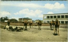 YEMEN - ADEN - CAMELS -  EDIT S.A. AZIZ A. HAKIM - 1950s (BG4148) - Yemen