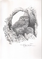 BUZIN / DESSIN A4 SIGNE / CHOUETTE CHEVECHE - 1985-.. Birds (Buzin)