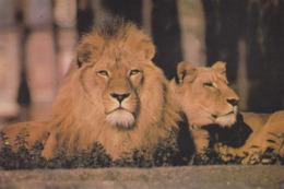 IMAGE - Lion Et Lionne - Vieux Papiers