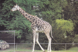 IMAGE - Girafe - Vieux Papiers