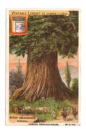 """S690 - CHROMO LIEBIG - 1902 """" ARBRES REMARQUABLES """" : ARBRE MAMMOUTH - Liebig"""