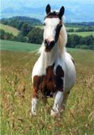 Animals, Horse, Pferde, American Paint Horse - Caballos