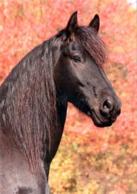 Animals, Horse, Pferde, Friese - Caballos