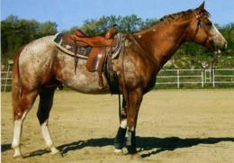 Animals, Horse, Pferde, Appaloosa - Cavalli