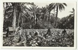 Gabes Culture De Tabac - Tobacco Old Postcard - Tabaco