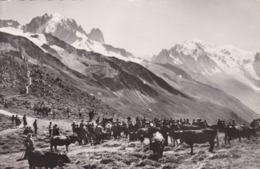 74. CHAMONIX. RARETE. ANIMATION. COMBAT DE VACHES AU COL DE BALME. ANNÉES 50 - Chamonix-Mont-Blanc