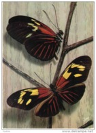 Carte Postale Guyane  Papillons  Helicoius Huebneri  Trés Beau Plan - Autres