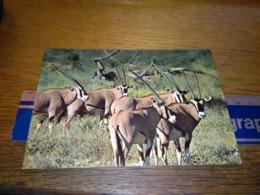 148668 WILDLIFE OF KENYA ORYX   KENYA - Kenia