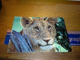 148670 WILDLIFE OF KENYA LION CUB - Kenia