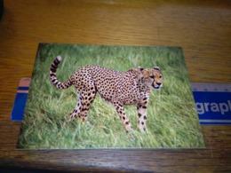 148671 KENYA CHEETAH - Kenia