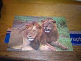 148672 KENYA LIONS OLD POSTCARD CARTOLINA - Kenia