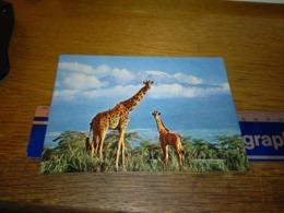 148674 KENYA GIRAFFE WITH YOUNG   OLD POSTCARD CARTOLINA - Kenia