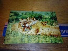 148680 KENYA  WILDLIFE OF EAST AFRICA LIONS  OLD POSTCARD CARTOLINA - Kenia