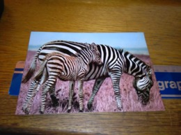148681 KENYA ZEBRA MOTHER AND BABY   OLD POSTCARD CARTOLINA - Kenia