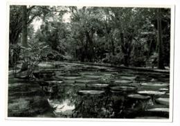 Pamplemousses Gardens - Water Lilies' Pond (Bassin Nénuphars Géants) - Pas Circulé - Mauricio