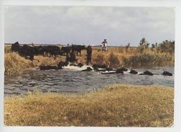 En Camargue : Taureaux Traversant Un Cours D'eau -  Chevaux Gardian - Saintes Maries De La Mer