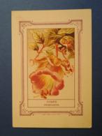 CHROMO Didactique Lithographie MINOT.  Publicité VILMORIN.  Plante.  COBEE  GRIMPANTE. - Vieux Papiers