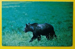 8924 - Grizzly Bear In Yellwstone National Park - Osos