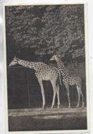 AK 0325  Wien - Tierpark Schönbrunn ( Giraffen ) Um 1920-30 - Giraffen