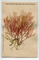 85 LES SABLES D'OLONNE  Algues Marines Naturelles - Commection Lucien Amiaud  1910 D15 2019 - Sables D'Olonne