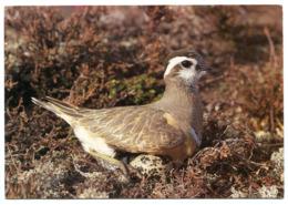 Fjällpiparen - Bird - Also Bird On The Stamp - Birds