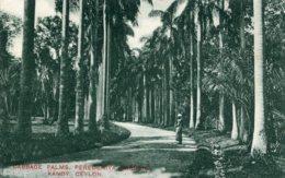 SRI LANKA (Ceylon0 - Cabbage Palms Peredriya KANDy - Good Animation Etc - Sri Lanka (Ceilán)