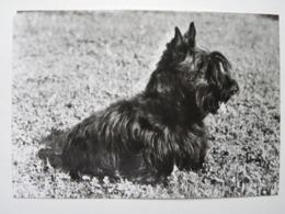 Dog  Chien  Hund / Scottish Terrier - Cani