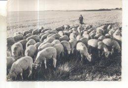 11. Moutons En Beauce - France