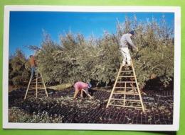 LES MEES Alpes De Haute Provence CUEILLETTE DES OLIVES EN DÉCEMBRE Moulin Fortune Arizzi Le Mas Des Pins Huile D'olive - Cultivation