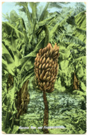 BERMUDA : BANANA TREE AND FRUIT - Trees