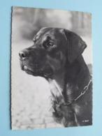 ROTTWEILER ( A 6237 - Beringer & Pampaluchi ) Anno 19?? ( Zie / Voir Photo ) ! - Hunde