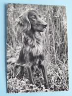 IRISH SETTER ( A 9420 - Beringer & Pampaluchi ) Anno 19?? ( Zie / Voir Photo ) ! - Hunde