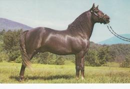"Horses ; Morgan Stallion #10414 ""Easter Twilight"" , Arlington , Vermont , 50-60s - Cavalli"