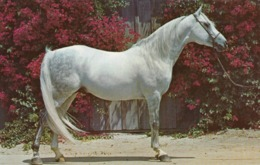 Horses ; Purebred Arabian Stallion , 50-60s - Pferde