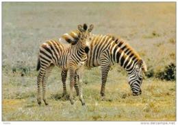 Carte Postale Afrique Faune Africaine  Zèbres  Hoa-Qui  N° 4291   Trés Beau Plan - Non Classés