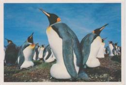 AKFK Falkland Islands - Malvinas King Penguins - Aptenodytes Patagonica - Falkland