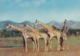 BASUTOLAND  LESOTHO  : Giraffes   : Carte Editions FIDELIS M.B.M. . - Lesotho