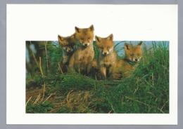NL.- Renards. Vossen. Füchse. Foxes. Ongelopen. - Animals