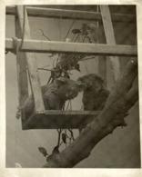 KOALA AUSTRALIA  ANIMAUX ANIMALS ANIMALES  21*16 CM Fonds Victor FORBIN 1864-1947 - Altri