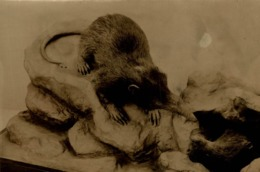 ANIMAUX ANIMALS ANIMALES  13*9 CM Fonds Victor FORBIN 1864-1947 - Altri