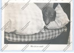 HUNDE - DACKEL / Teckel / Dachshund / Bassotto - Dackel Im Bett - Cani