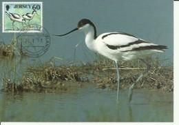 Carte Maximum - Oiseaux - Jersey - Avocet - Avocette Elegante - Recurvirostra Avosetta - Jersey