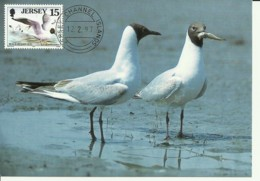 Carte Maximum - Oiseaux - Jersey - Blackheaded Gull - Muette Rieuse - Larus Ridibundus - Jersey