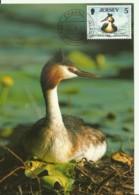 Carte Maximum - Oiseaux - Jersey - Great Crested Grebe - Grebe Huppé - Podiceps Cristatus - Jersey