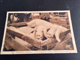 CP (29)  LESNEVEN.Un Boujour Des Petits Cochons (E1665) - Lesneven