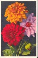 663 - Dahlia Variabilis - Dahlia - Fleurs